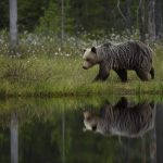 One-of-the-wild-brown-bears-of-Kuhmo-walks-alongside-a-lake-photographed-during-a-NaturesLens-Wild-Brown-Bears-of-Finland-photography-holiday