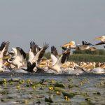 pelicans-dans-le-delta-du-danube-roumanie-3b0c7a09-8359-4375-bfc0-7d6a1a702b86